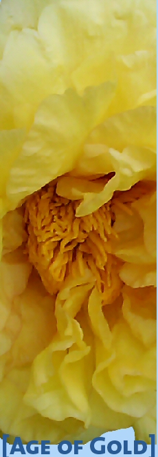 Tree Peony 'Age of Gold'  by Prof. Arthur P. Saunders, USA
