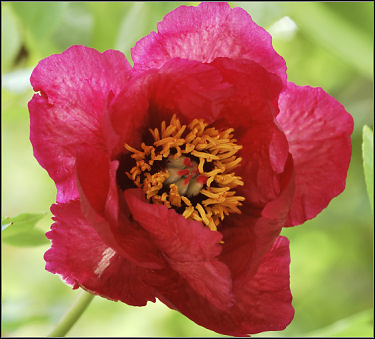 Tree Peony 'GAUGUIN'  by Nassos Daphnis, USA